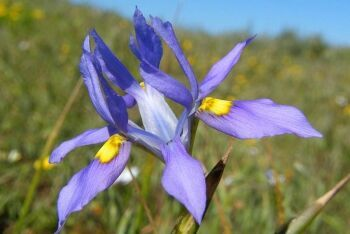 Moraea fugax flower, Langebaan, Cape West Coast