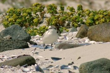 White-fronted Plover Charadrius marginatus, Yzerfontein, Cape West Coast